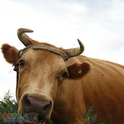 传染性牛支原体肺炎防治措施