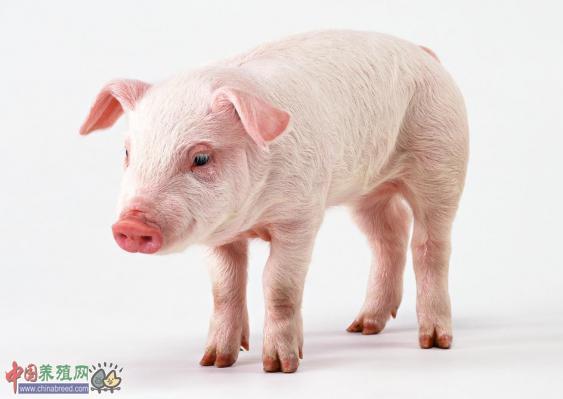 中央财政13吨百元大钞 重点扶植生猪养殖