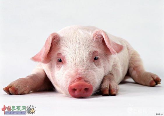 猪顽固性便秘诊疗技术