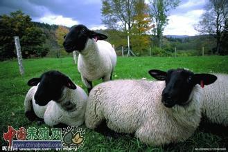 养羊宜抓好配种期饲养