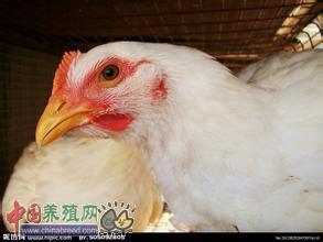 鸡群断喙、修喙技术