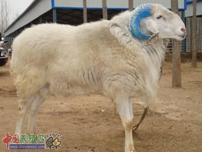 细说小尾寒羊人工授精技术