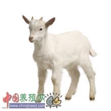 羊长期舍饲干草须防病