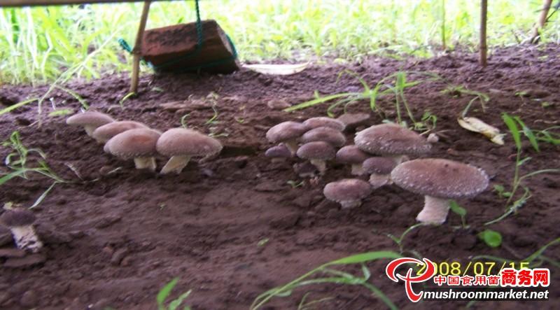 香菇反季节栽培技术的几种模式