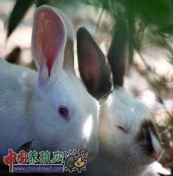 2015年5月26日獭兔最新价格行情
