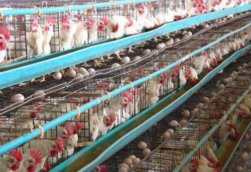 蛋鸡养殖安静的环境至关重要