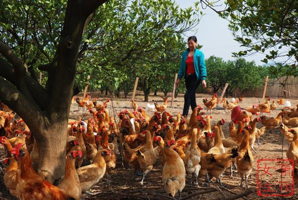 果园养鸡―多赢的选择