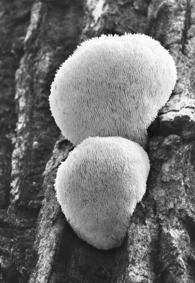 猴头菇生长需要怎样的环境