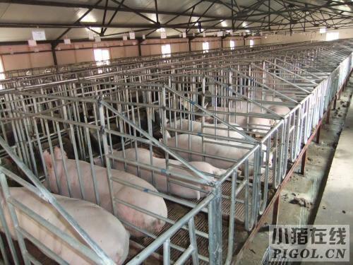 养殖场妊娠猪舍设计要点