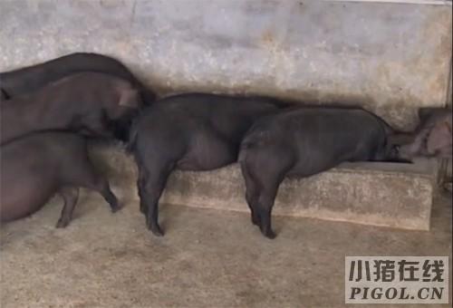 夏秋季节如何做好东串猪的喂养与管理