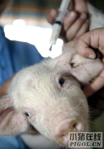 猪发生疫苗过敏反应怎么办呢?