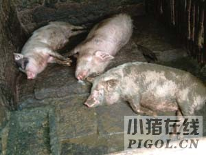 过氧乙酸预防生猪口蹄疫
