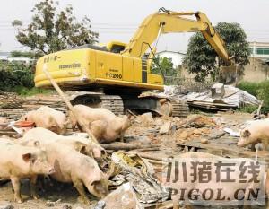 一个230多平方米的养猪场被拆除
