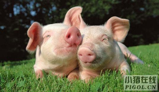 秋季生猪的保健方案