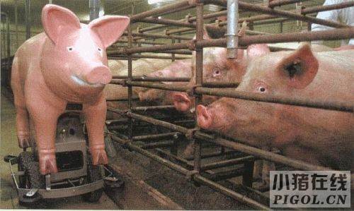 给猪人工授精需要哪些设备?