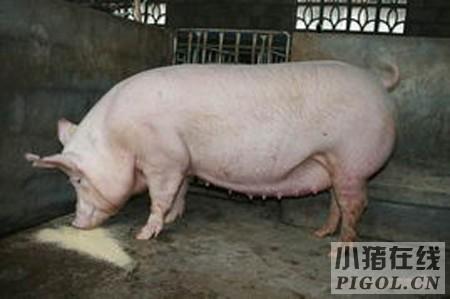 检查母猪怀孕的新方法