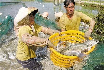 海鲈养殖高手连续七年不亏的秘诀