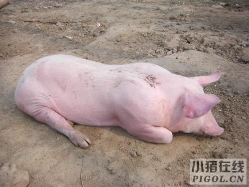 猪病治疗中最易遇到的问题分析
