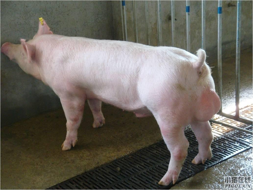 饲养好种公猪的方法