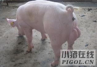 种公猪调教的一些措施