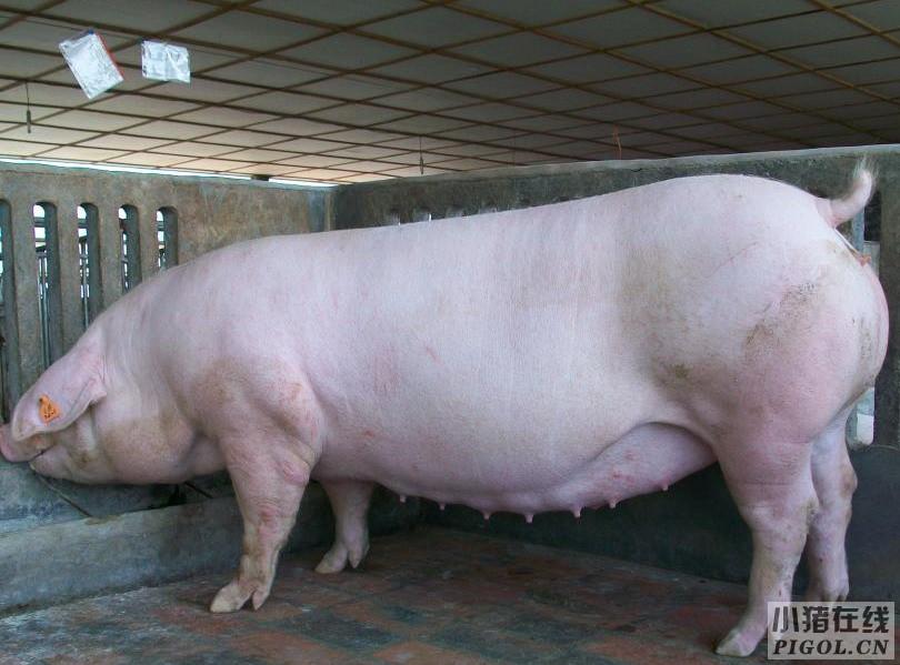"""怀孕母猪的喂料量原则采用""""前低后高""""方式"""