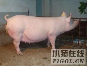优质的饲料和充足的运动是培育后备猪的关键