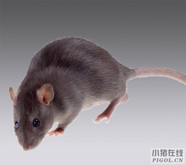 养猪场怎么消灭老鼠?