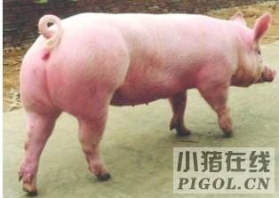 种猪场对与后备猪的选留至关重要