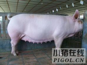 采取快速处理措施解决母猪产程延迟难题