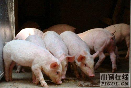 二元母猪价格趋稳补栏情况好转