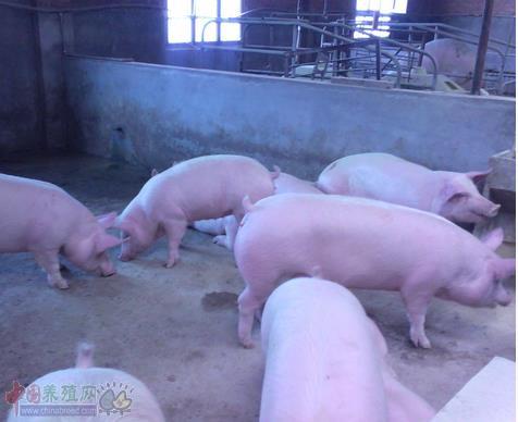 影响母猪繁殖性能的10种维生素
