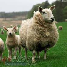 养羊剪毛注意事项