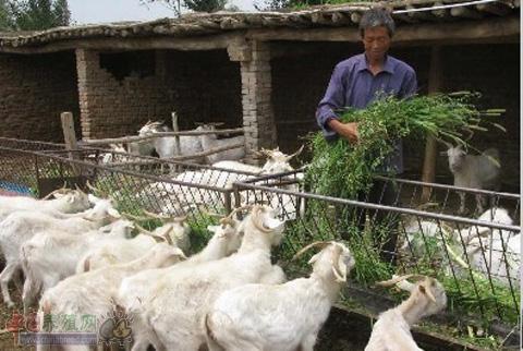 干货!白绒山羊的精细管理与育肥羊的饲养