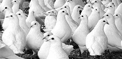 肉鸽食药价值高养殖需要讲门道