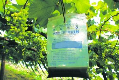 土肥技术助推葡萄采摘季