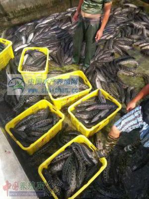 各地黑鱼养殖户出鱼量增加 价格上涨难度大
