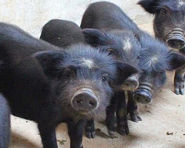 养殖藏香猪拓宽致富路 促进养殖户增收