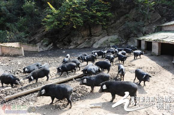 闻喜农民王烨红带领贫困户靠养殖藏香猪脱贫致富