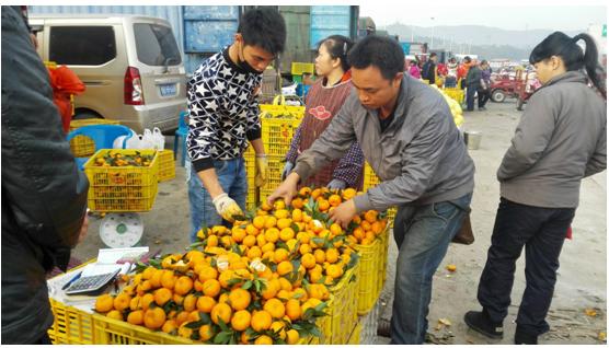 """广西新柳邕市场:柑橘类水果齐上阵 """"柑橘时代""""将持续至春节"""