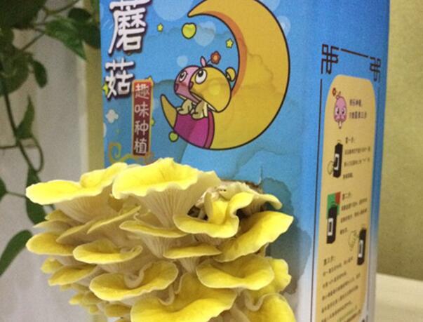 """山东沂水县""""蘑菇种植玩具"""""""