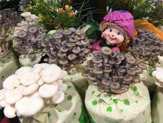 家庭阳台种植蘑菇