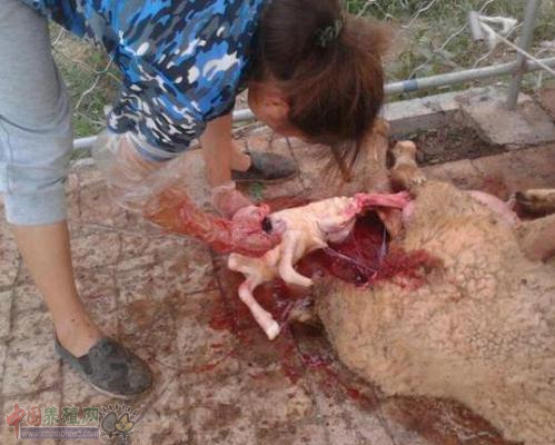 母羊难产怎么办,母羊难产人工助产方法!