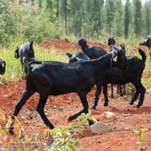 高脚羊的养殖有哪些特点