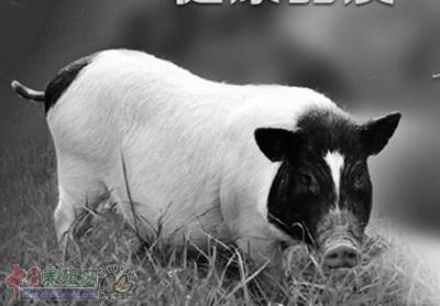 香猪养殖前景好繁育管理有门道