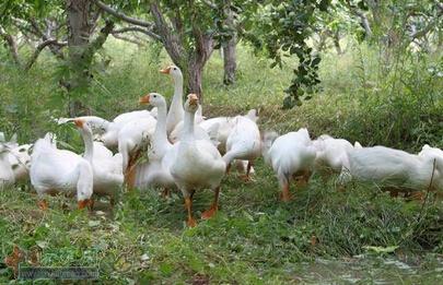 林地养鹅力促现代畜牧业加快发展