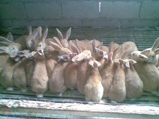 农民工返乡养兔年入20万