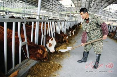 都安发展20万头瑶山牛养殖项目