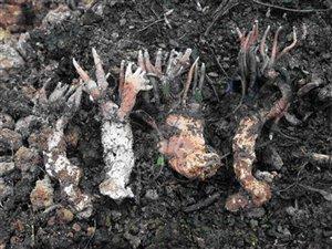 种植鸡腿菇需防治哪些病害?