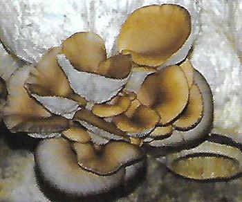 平菇黄菇病的发生及防治