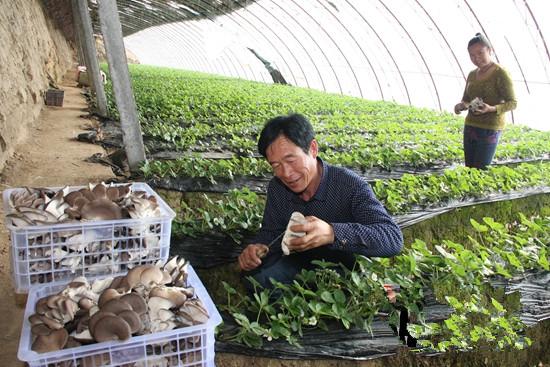 新疆察布查尔县草莓大棚套种蘑菇